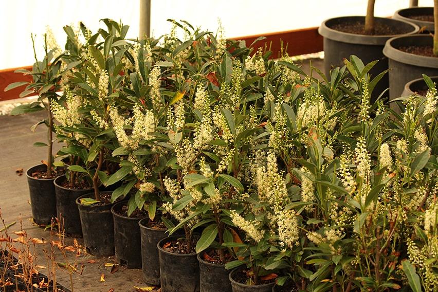 6758-Prunus-laurocerasus-Schipkaensis-schip-laurel-field-flowering-hedge-row