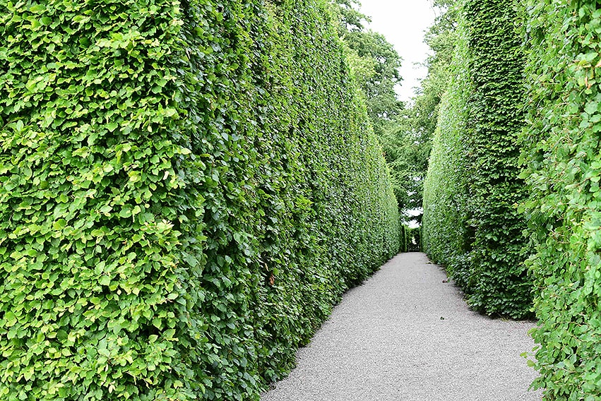 681322546-Fagus-beech-hedge-estate-commercial-path-privacy-tall-maze-garden