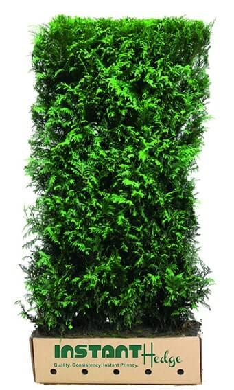 7088-Thuja-plicata-Virescens-Western-red-cedar-InstantHedge-foliage