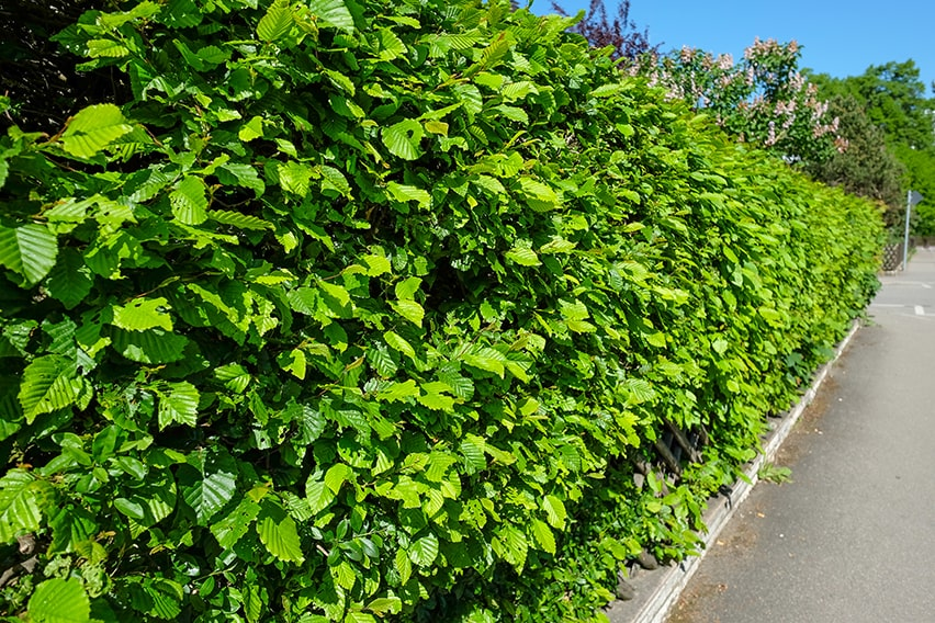 716747371-fagus-beech-privacy-hedge-suburban-commercial-urban-street-curb-driveway