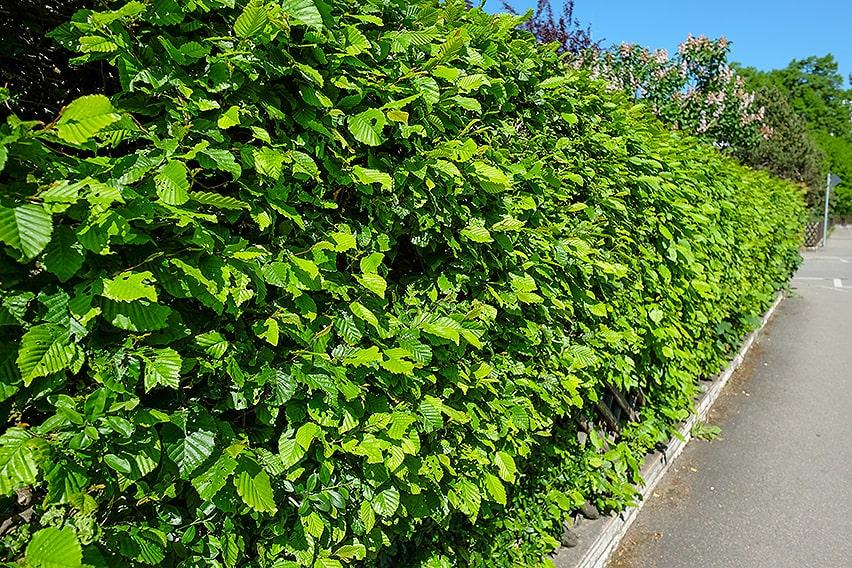 716747371-fagus-beech-suburban-urban-commercial-street-curb-privacy-hedge