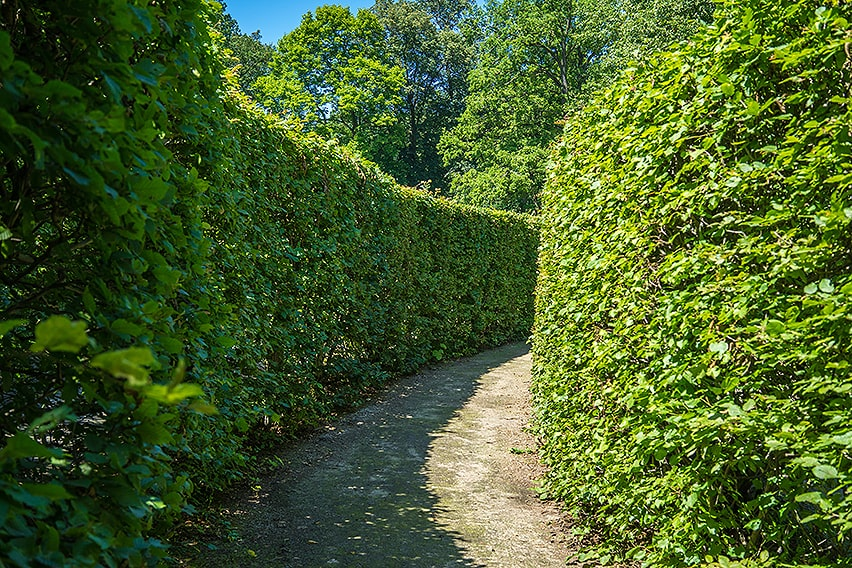 724507186-Fagus-beech-tall-privacy-hedge-path-suburban-country-driveway