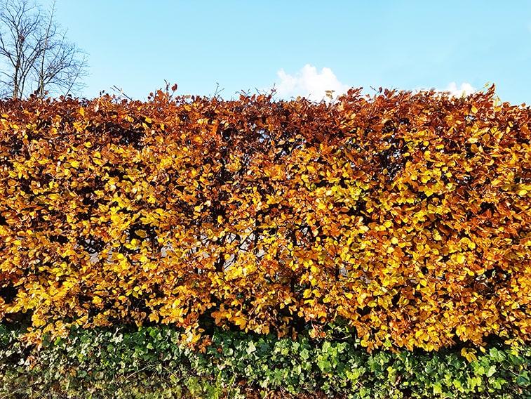 762347071-fagus-beech-hedge-deciduous-fall-autumn-color-foliage-leaves-yellow-orange-bronze