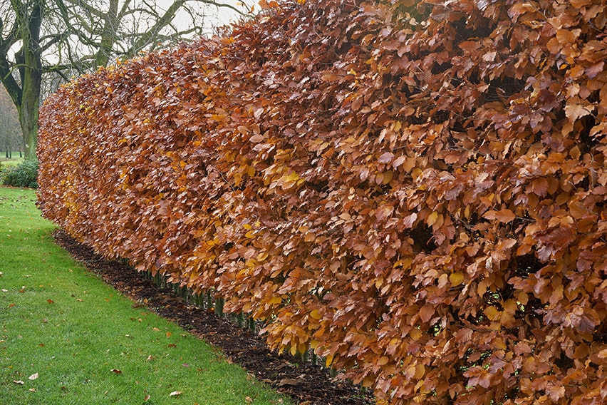762386500-Fagus-beech-hedge-winter-foliage-leaves-color-bronze-suburban-commercial-country