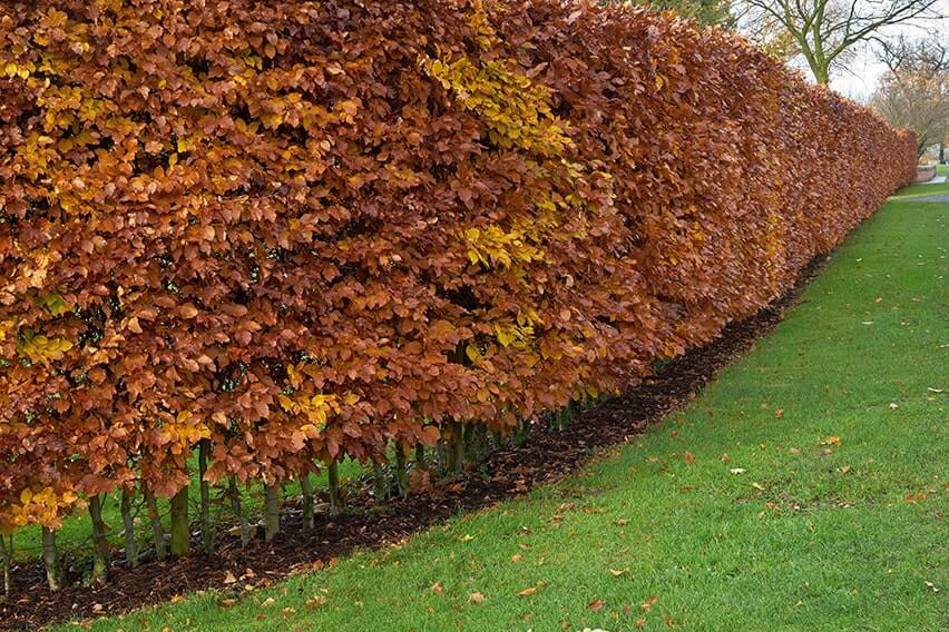 762386506-fagus-beech-privacy-hedge-fall-winter-leaves-retention-color-bronze