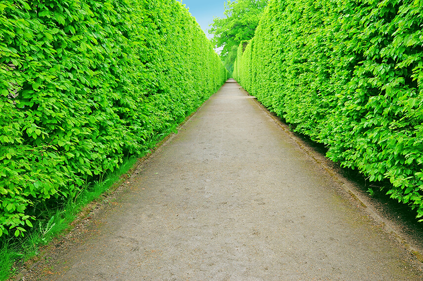 78352597-Fagus-beech-privacy-hedge-lining-driveway-estate-country-landscape-garden