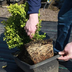 795653-Green-Mountain-Boxwood-root-development
