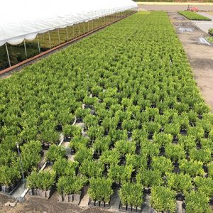 795654-Green-Mountain-buxus-ready-for-container-planting