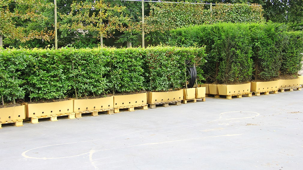 8541-Staging-on-pallets-of-Fagus-and-Taxus-in-cardboard-container-ready-to-ship