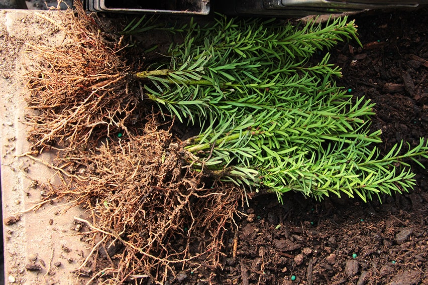 8542-Taxus-FAQ-nursery-quality-is-in-the-roots-root-development-prior-to-planting-in-field