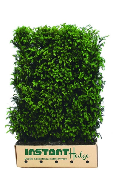 Taxus-media-Hicksii-medium-hedge-unit-in-cardboard-box-for-shipment