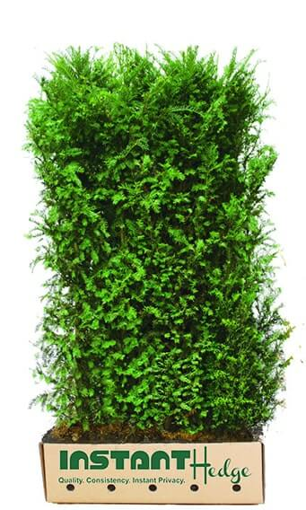 8545-Taxus-media-Hicksii-cardboard-biodegradable-container-6-foot-InstantHedge