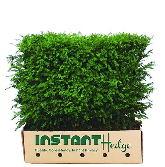 Taxus-media-Hicksii-cardboard-biodegradable-container-3-feet