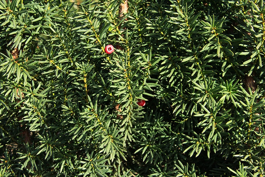 8547-Taxus-media-Hicksii-yew-foliage-and-flower