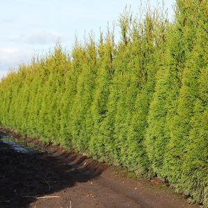 88886235-Thuja-occidentalis-Smaragd-Emerald-Green-InstantHedge-row-ready-for-harvest