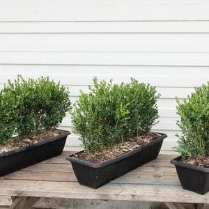 Buxus-Green-Mountain-boxwood-hedge-instanthedge-in-container