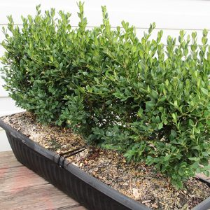 Buxus-Green-Mountain-boxwood-hedge-single-unit-instanthedge