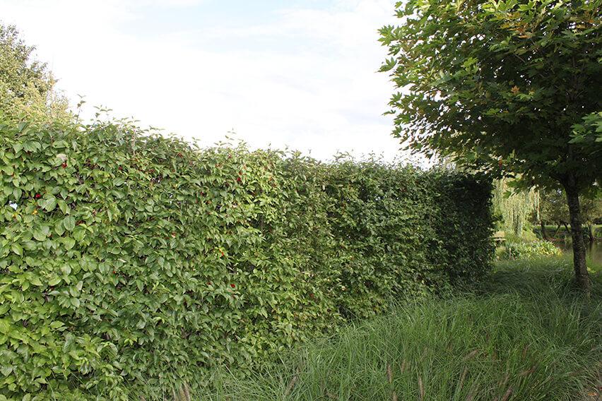 Cornus-mas-Cornelian-cherry-hedge-privacy-windbreak-country-cottage-garden-estate-landscape