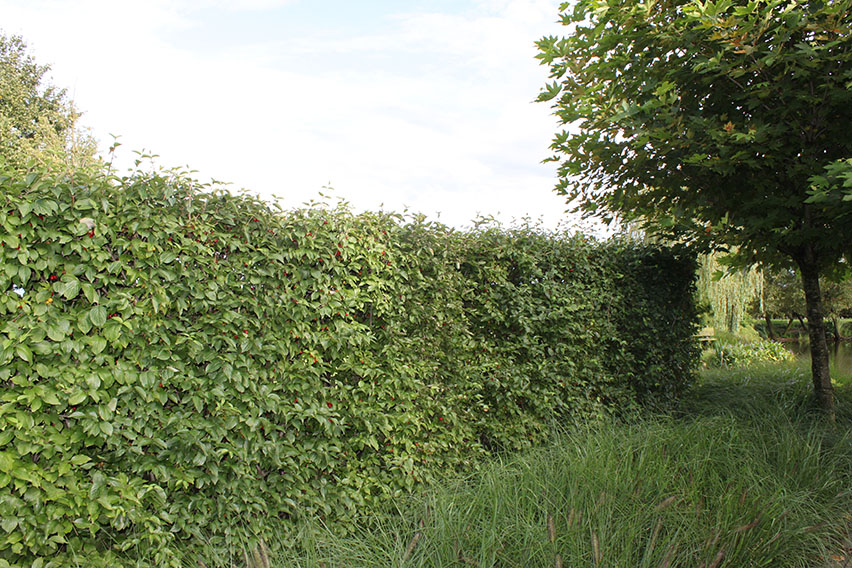 Cornus-mas-cornelian-cherry-hedge-screen-deciduous-garden-country-cottage-suburban