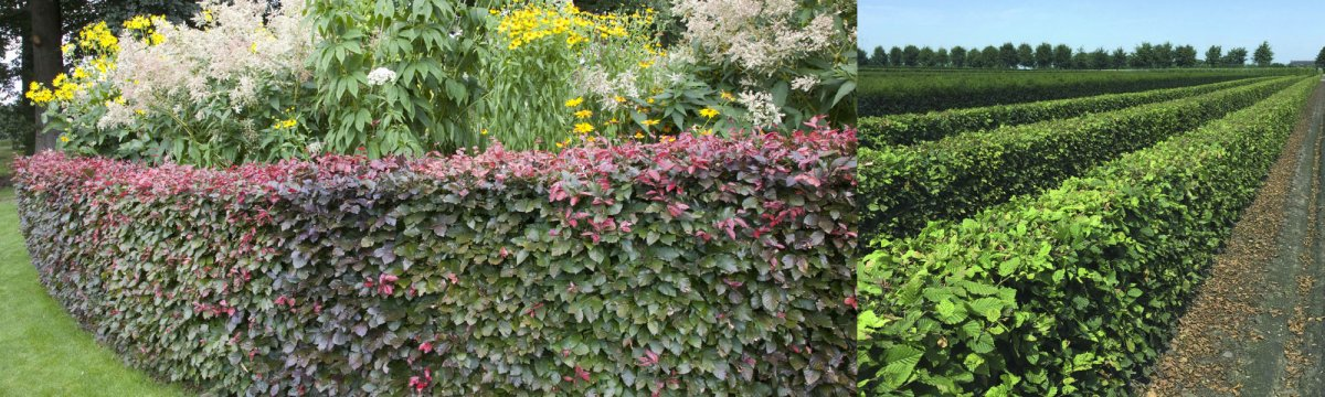 Beech is available in an array of rich colors, while Hornbeam tends to display poorer color.