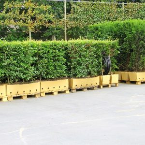 Fagus-sylvatica-beech-taxus-yew-hedge-units-pallets-ready-ship-cardboard-InstantHedge