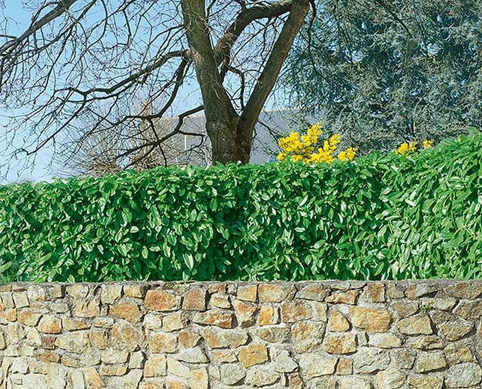 N0300063_140-Prunus-laurocerasus-estate-driveway-street-border-short-hedge