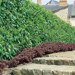 N0300147_140-Prunus-laurocerasus-Schipkaensis-driveway-estate-suburban