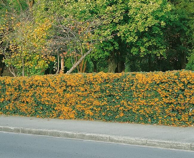N0300151_140-Pyracantha-driveway-estate-street