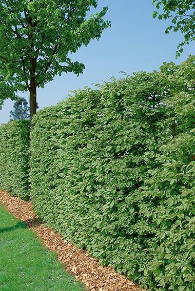 N0300216_140-Fagus-beech-hedge-lawn-formal-park-garden-suburban-privacy