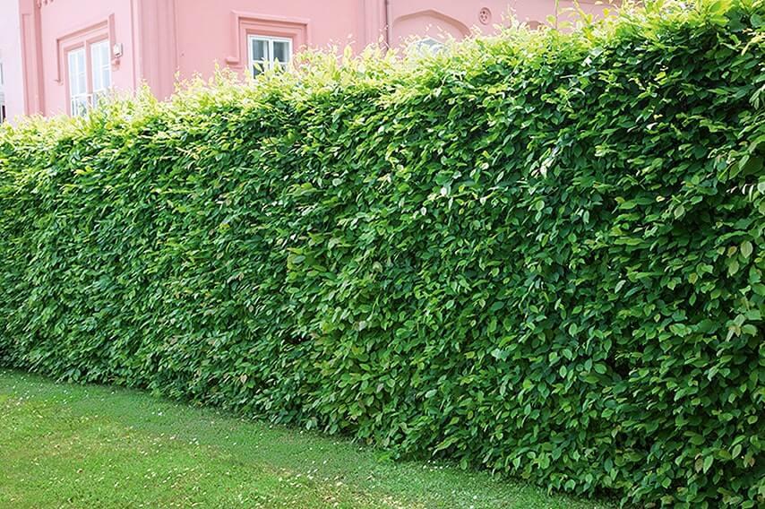 N0300252_140-Carpinus-hornbeam-commercial-park-privacy-hedge