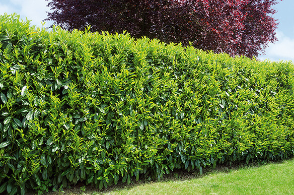 best evergreens for privacy