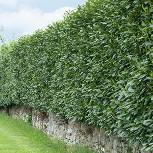 N0300325_140-Prunus-laurocerasus-Schipkaensis-estate