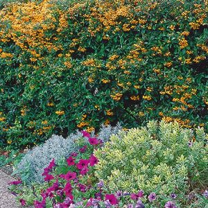 N1001984_140-Pyracantha-cottage-country