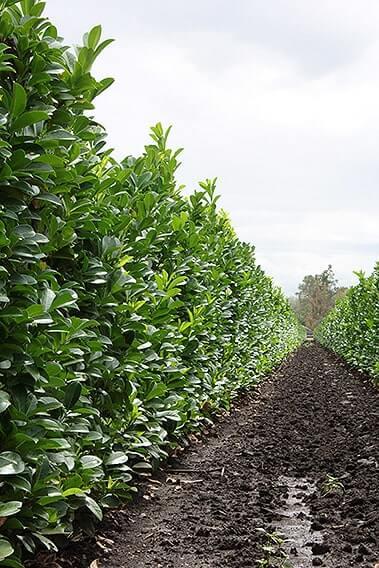 Prunus-laurocerasus-English-Cherry-laurel-hedge-row-field-nursery-InstantHedge