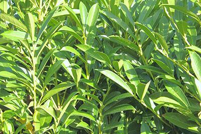 Schip Laurel Foliage (types of laurel shrub)