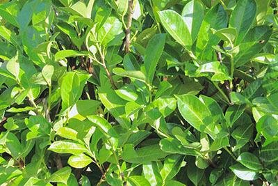 English Laurel Foliage (types of laurel shrub)