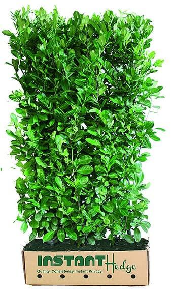 Prunus-laurocerasus-hedge-unit-468593-English-laurel-InstantHedge-biodegradable-cardboard