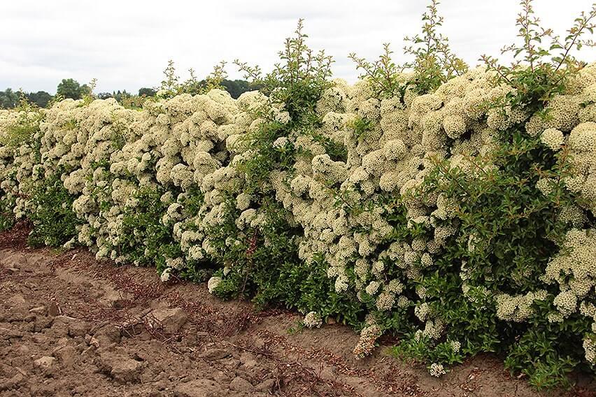 Pyracantha-'Teton'-hedge-(2)-496782-bloom-fragrant-firethorn