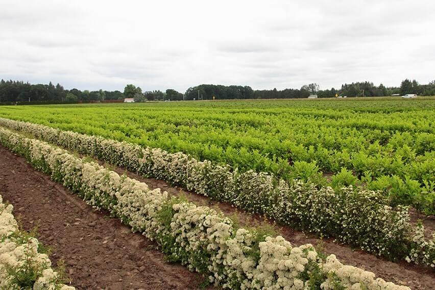 Pyracantha-'Teton'-hedge-496783-bloom-fragrant-firethorn