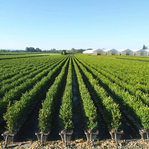 boxwood-buxus-hedge-instanthedge-growing-field-summer-nursery-farm