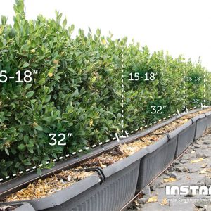 buxus-green-mountain-boxwood-size-dimensions