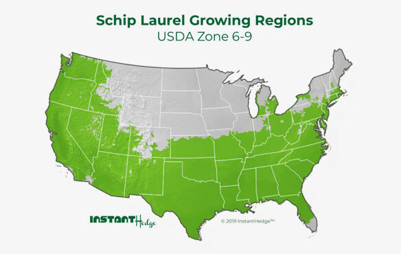 Schip laurel is one of the best privacy hedges ideal for zone 6-9. Best bushes for privacy