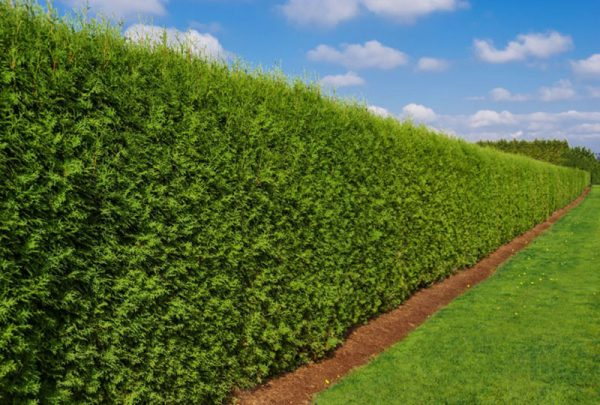 best plants for privacy. Varieties of privacy hedges makes perfect formal screen.