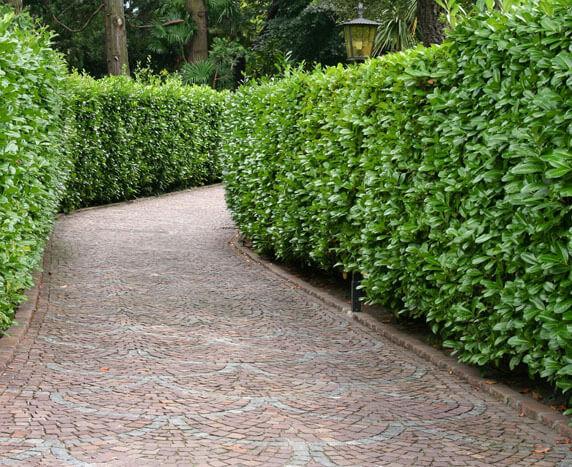Laurel hedge plant