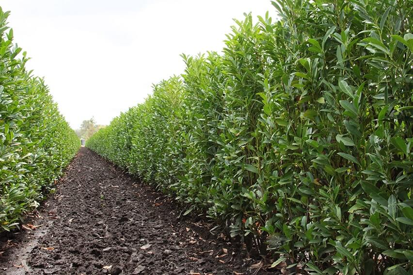 prunus-laurocerasus-schipkaensis-schip-cherry-laurel-hedge-field-row-nursery-InstantHedge