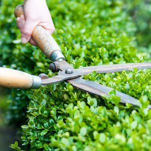 197566523 Buxus-maintenance-pruning-shearing