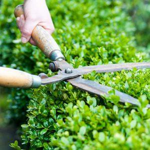 197566523 Buxus-maintenance-pruning-shearing