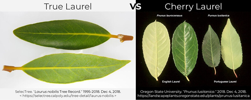 true-laurel-cherry laurel-compare-difference-leaves