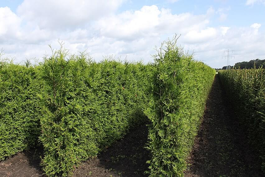0459-Thuja-occidentalis-Arborvitae-Field-InstantHedge-units-ready-for-harvest