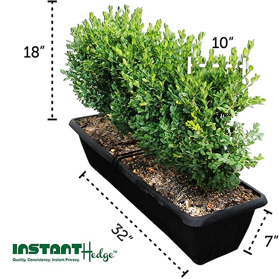 18-inch-boxwood-with-dimensions-in-pot-InstantHedge